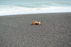 A Good Roll (Bob Hawley) Tags: sea pets playing dogs water asia stones taiwan shore beaches pingtung nikon1755f28 xuhai nikond7100 taiwantugou