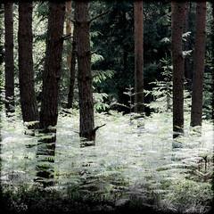 Fougères (Clydomatic) Tags: arbres forêt fougères