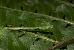 Louva-deus (Mantodea) b (Enio Branco) Tags: nature rainforest wildlife natureza bugs macrophotography mataatlntica macromundo artropods sosmataatlntica macromaniaanimalgroup