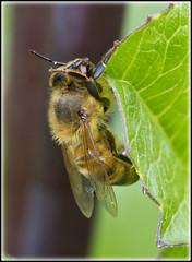 Hanging On (ajr1961) Tags: tongue pollen zunge honig flgel fhler