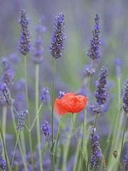 Couleur et parfum *-*-- °--° (Titole) Tags: lavender poppy lavande coquelicot friendlychallenges gamex2 storybookwinner titole nicolefaton