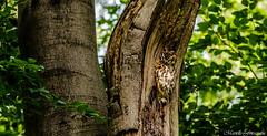 Owl (1 van 2) (Marielle - Fotografie) Tags: tree green nature nikon forrest wildlife owl 28 5100 70200 preditor