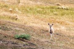 Deer at Point Reyes (lennycarl08) Tags: california animals northerncalifornia deer marincounty animalplanet ptreyes pointreyesnationalseashore goldengatenationalrecreationarea