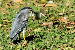 Socozinho (Butorides striata)Bicão 27-06-15 (112) (Lisa Vaccari) Tags: natureza pássaro ave sãocarlos butoridesstriata socozinho bicão aoarlivre avepescando