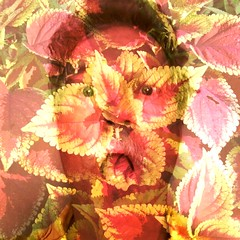 Coleus (Eric.Ray) Tags: plant flower days 365 coleus 21365 selfir