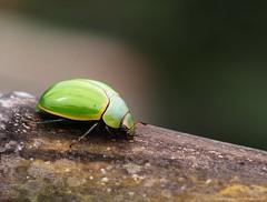 Cucarron verde. Coleoptera (Ivan Mauricio Agudelo Velasquez) Tags: verde green fauna insecto coleoptera mariquita sanjuanero gorgojo carcoma aceitero cucarron barrenillo
