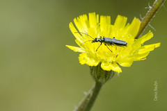 .. on yellow. (Darius Baužys) Tags: yellow flower green bug nature insect animal macro close bettle false blister oedemera virescens laibavabalis