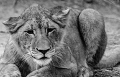 cub at DC zoo (rudydlc81) Tags: lioncub dczoo bigcats simba lion