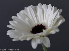 "Small ""White Gerbera"" (A.J. Boonstra) Tags: canon canon70d canoneos ef100mmf28lmacroisusm falconeyesskk2150d jinbeiwhiteumbrella westcottsilverumbrella flower flowers whitegerbera gerbera"