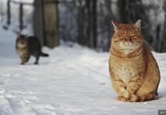 Homeless cats winter (Staropramen1969) Tags: cats cat winter animals