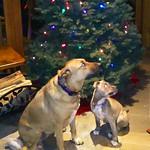 Christmas dogs thumbnail