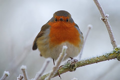 Robin 2 (Hugobian) Tags: hmwt amwell nature reserve winter frost pentax k1 cold robin bird birds british fauna wildlife animal