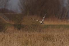 IMGP8577 Short-eared Owl, Burwell Fen, January 2017 (bobchappell55) Tags: shortearedowl burwellfen bird birdsofprey nature nationaltrust naturereserve wildlife wild flight asio flammeus