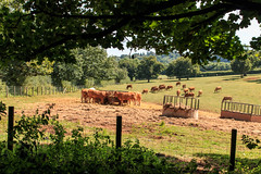 The cows enjoyed the summer! (Keith in Exeter) Tags: cows animals livestock feeding field fence tree plant grassland hay summer devon killerton estate parkland uk landscape farming agricultural bucolic outdoor