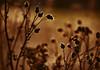 Die Wiese spricht mit sich selbst und ich liege daher so leise und unauffällig wie möglich daneben. (Manuela Salzinger) Tags: winter schwarzwald blackforest morgen morning wiese meadow blume flower verwelkt withered sonnenaufgang sunrise