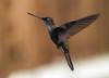 IMG_0724 Bronzy Inca (suebmtl) Tags: hummingbird bird ecuador bronzyinca coeligenacoeligena napoprovince baeza
