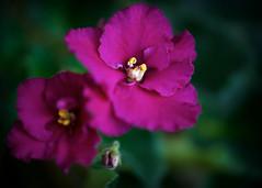 Violet Blossoms (imageClear) Tags: blossoms houseplant macro nature aperture nikon d600 105mm beauty violet africanviolet imageclear flickr photostream picmonkeycom