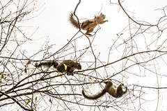 Monkeys of the South (Maggggie) Tags: chipmunk 365 trees moving three 117in2017 over