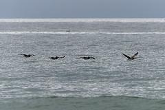 Pelicans In Flight - 010117-114104 (Glenn Anderson.) Tags: pelicans birds atlanticocean waves horizon water sand surf beak scavenginglift feathers seabirds rainyday fromation drafting