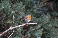 Robin (ColinParte) Tags: ireland mournes silentvalley reservoir wildlife canon 60d nature robin