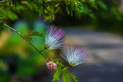 Albizia julibrissin (Changer4Ever) Tags: nikon d7200 nikkor flower plant life nature bokeh dof depthoffield macro blooming blossom color colorful season outdoor albiziajulibrissin