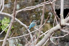 Kingfisher (hisanori61) Tags: kingfisher mishima japan nikon d7000 nature tree