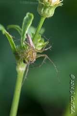 Spiky Legs (umijin) Tags: araneae arthropoda chelicerata guahan guam lynxspider mangilao oxyopidae territoryofguam uog usa universityofguam animal arthropod chelicerate spider