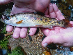 Chunky little Rainbow (eagle_TH66) Tags: rainbowtrout flyfishingnc fishing wildtrout flyfishing catchandrelease