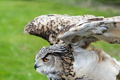 DSC_4202 (huzFlicks) Tags: bird nature safari owl birdsofprey woburnsafaripark
