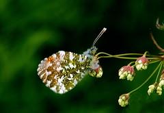 Orange Tip Anthocharis cardamines male underside. (Fr Paul Hackett) Tags: cloud butterfly rest kingussie