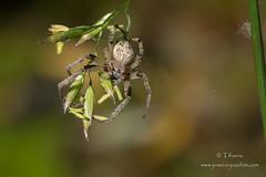Epeire des roseaux (Tifaeris) Tags: araignes araneidae larinioidescornutus peiredesroseaux larinioidessuspicaxfolium