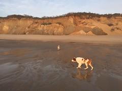 Early Morning at the Beach (Jonathan Lurie) Tags: ocean summer beach sunrise brittany capecod atlanticocean iphone spaniels nationalseashore newcombhollow brittanyspaniels