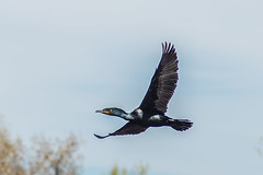 Double-crested Cormorant flying over water (DigiDreamGrafix.com) Tags: park blue sea wild sky canada abstract bird nature water animal vertical america outside outdoors bay living flying divers marine colorado nest wildlife watching north flight wing beak feather conservation environmental diving denver environment cormorant aquatic ornithology isolated avian seabirds humber organism doublecrested phalacrocorax auritus phalacrocoracidae
