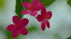 Jatropha integerrima (Euphorbiaceae) (Ruissalo Botanic Garden, Turku, 20150418) (RainoL) Tags: flowers red plants plant flower finland geotagged turku clr indoors greenhouse april fin botanicalgarden ruissalo euphorbiaceae 2015 jatropha jatrophaintegerrima ruissalonkasvitieteellinenpuutarha varsinaissuomi 201504 ruissalobotanicgarden 20150418 geo:lat=6043329750 geo:lon=2217331607