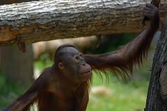 Bornean Orangutan (Truus & Zoo) Tags: netherlands animals zoo nederland endangered apenheul apeldoorn dierentuin pongopygmaeus borneanorangutan borneoseorangoetan
