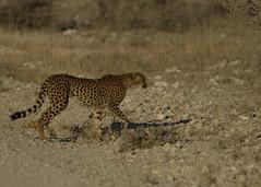 Cheetah Etosha E48G7292 (susan yeomans) Tags: africa cat mammal feline wildlife safari bigcat cheetah namibia etosha africasafari etoshanationalpark canon1dmark4 canon1dmk4