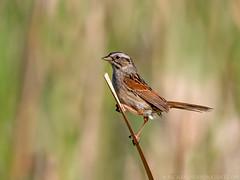 Swamp Sparrow (Nick Saunders) Tags: reeds pond sparrow swamp marsh slough cattail swampsparrow canon7dmark2 tamron150600