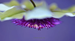 UFO (Unidentified Flower Object) (Robin Evans (Colorado | OFF)) Tags: life light plant flower macro nature composition petals cool focus colorado dof purple blossom bokeh pov ngc clematis favorites clarity vine ufo softfocus dreamy tones tone selectivefocus purpleclematis hbw happybokehwednesday robinevansstudio floridaseboldiiclematis