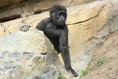 Ebo le petit gorille de côte (olivier.ghettem) Tags: valencia animal spain extérieur espagne primate valence afrique gorille grandsinge bioparcvalencia