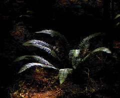 Fernlight (Pictoscribe) Tags: park rain forest state or sword ferns ecola pictoscribe