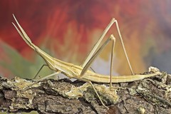 Stick bug (thunder2708) Tags: