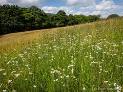 Bradfield Dale (Roger B.) Tags: unitedkingdom peakdistrict sheffield meadow grassland uploadedbyemail southyorkshire gbr sneezewort bradfielddale achilleaptarmica