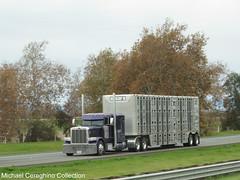 Peterbilt 389 with bullwagon (Michael Cereghino (Avsfan118)) Tags: peterbilt pete 389 livestock bullwagon bull hauler trailer cattle wagon semi truck trucking j h transport transportation