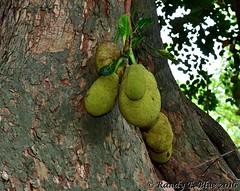 Durban 083 (REBlue) Tags: southafrica kwazulunatalprovince durban durbanbotanicalgarden jackfruit