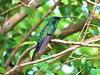 A língua tímida do Beija Flor (borgeskiki) Tags: bird nature tree leef natureza brasil brazil florianópolis ribeirãodailha lingua de beija flor beijaflor