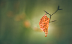 Dry leaf (Dhina A) Tags: dryleaf iscoopticultramc95mmf2 isco optic ultra mc 95mm f2 cinema projector projection lens schneider leaf bokeh blur sony a7rii ilce7rm2 a7r2