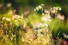 I want to keep summer forever.. (Kasia Sokulska (KasiaBasic)) Tags: fujix canada alberta spring meadows flowers grass rural fly macro