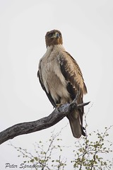 Tawny Eagle (Aquila rapax) (pspradbrow) Tags: tawnyeagle aquilarapax eagle africa krugernationalpark kruger southafrica bird birdofprey peterspradbrowwildlifephotography peterspradbrow wildlife wildlifephotography outdoors nature