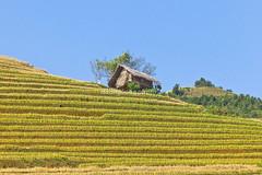 _MG_9735.1011.Chế Cu Nha.Mù Cang Chải.Yên Bái (hoanglongphoto) Tags: asia asian vietnam northvietnam northwestvietnam landscape scenery vietnamlandscape vietnamscenery vietnamscene terraces terracedfields terracedfieldsinvietnam harvest outdoor sky bluessky hill tophill hillside canon canoneos5dmarkii canonef70200mmf28lisiiusmlens tâybắc yênbái mùcangchải chếcunha cầubanhà phongcảnh ruộngbậcthang lúachín mùagặt bầutrời bầutrờimàuxanh mây ngọnđồi đỉnhđồi sườnđồi ruộngbậcthangmùcangchải mùcangchảimùalúachín house ngôinhà nhà