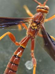 female ichneumon (ophis) Tags: hymenoptera parasitica ichneumonoidea ichneumonidae labeninae labena labenagrallator ichneumon